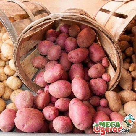 Описание лучших сортов картофеля