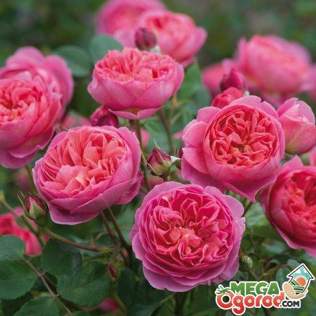 Описание кустовых роз
