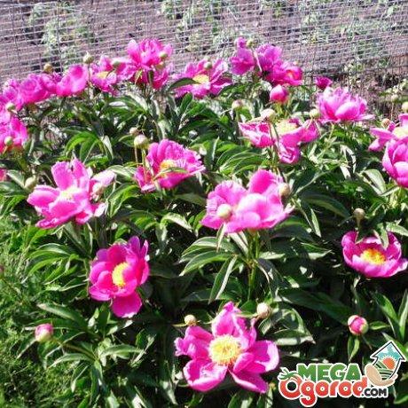Выращивание пиона укореняющегося в саду