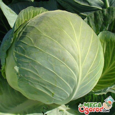 Урожайные сорта капусты белокочанной, их особенности