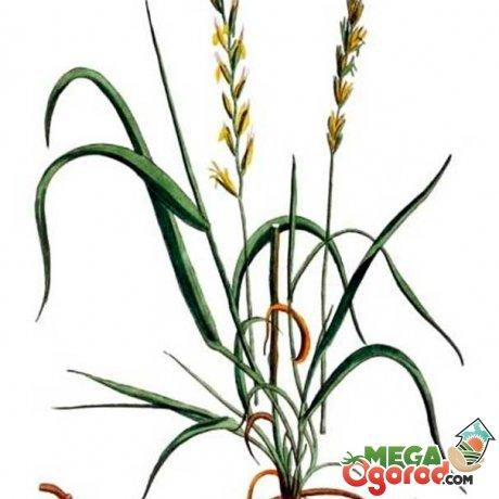 Особенности травы пырей, зона распространения