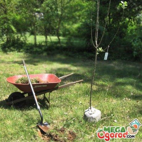 Подготовка почвы и саженца к посадке, сроки ее