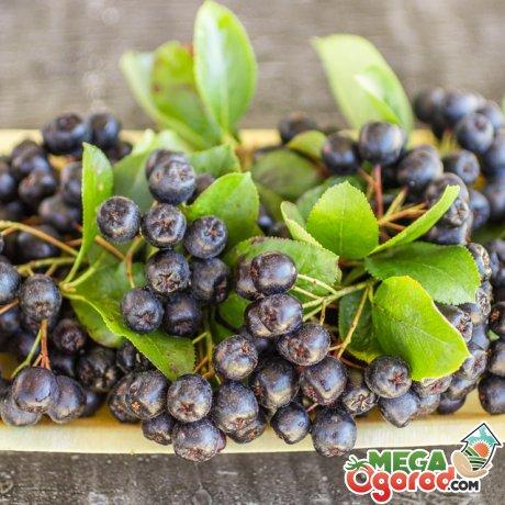 Состав и польза ягод черноплодной рябины
