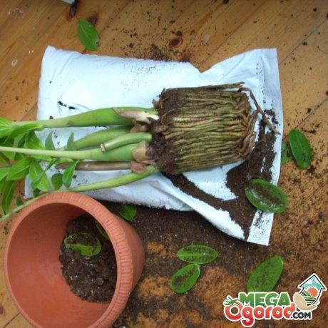 Пересадка, условия выращивания замиокулькаса
