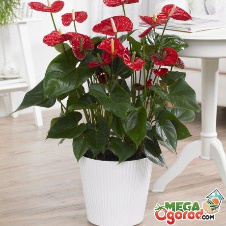 Какие условия предпочитает растение