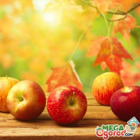 Осенние сладкие сорта яблок