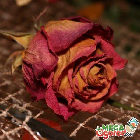 Способы сушки бутонов роз