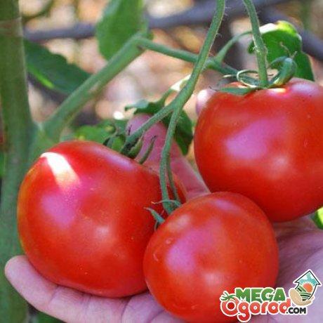 Понятие детерминантных и индетерминантных томатов