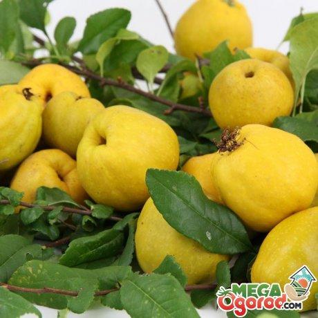Описание фрукта