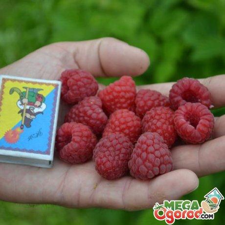 Преимущества сорта, отзывы садоводов
