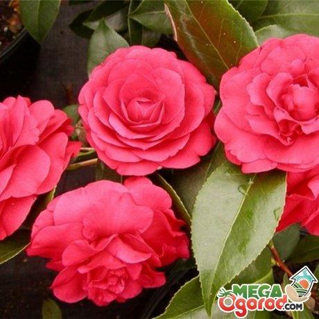 Японская роза - «Камелия»