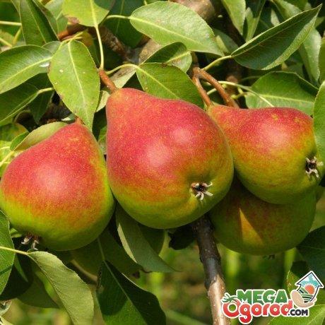 Лучшие сорта груш для выращивания