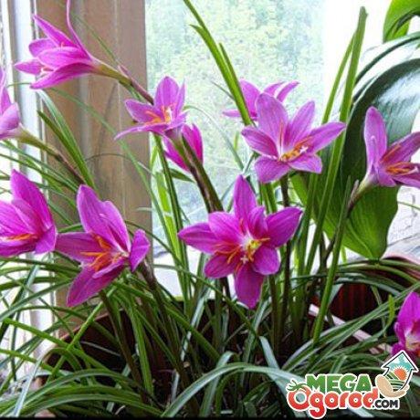Какие нужны условия для выращивания цветка дома?