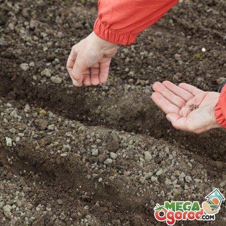 Посев и уход за морковью
