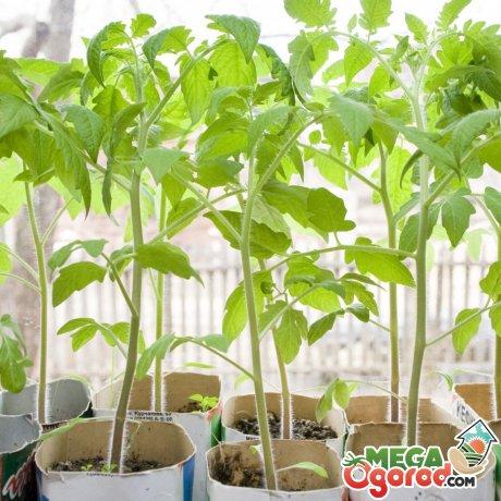 Правила выращивания томатов через рассаду