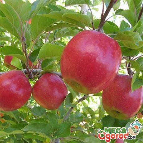 Описание сорта яблони