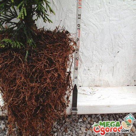 Строение корневой системы хвойного растения