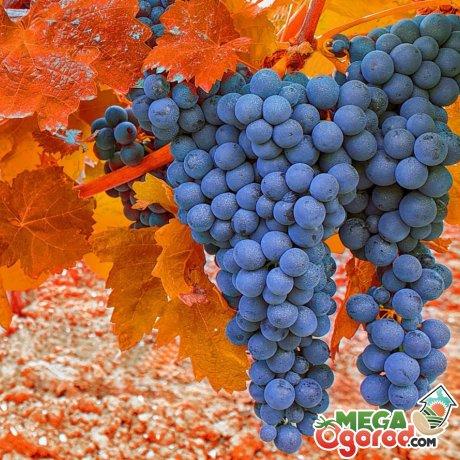 Морозостойкость винограда