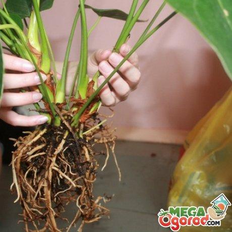 Методы размножения, посадка растения