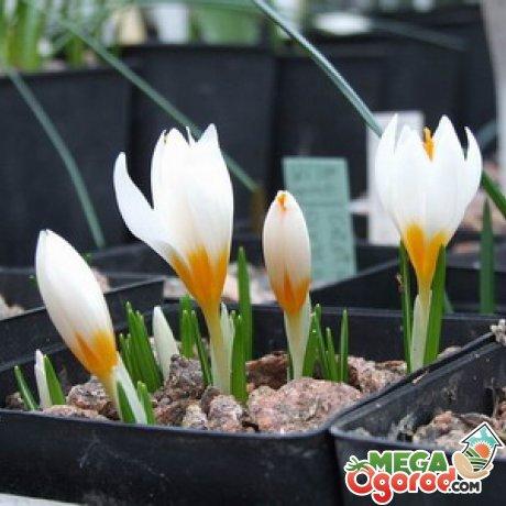 Условия роста и цветения
