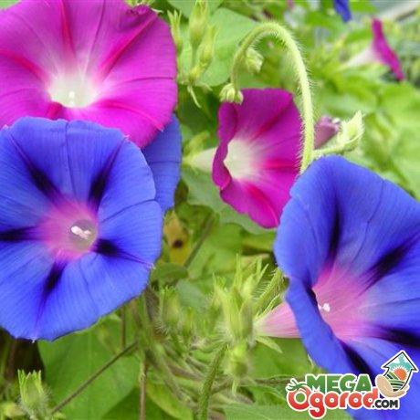 Фарбитис красно-голубой