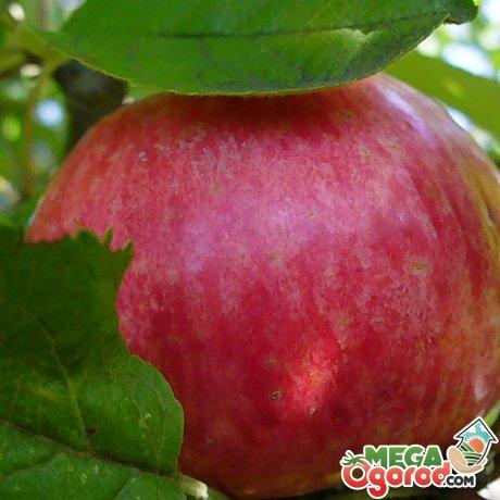 плоды медуници