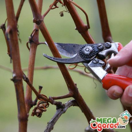 Уход за виноградом сорта Загорулько