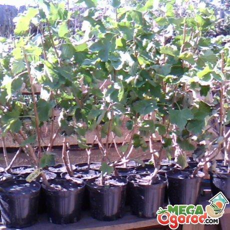Выращивание йошты