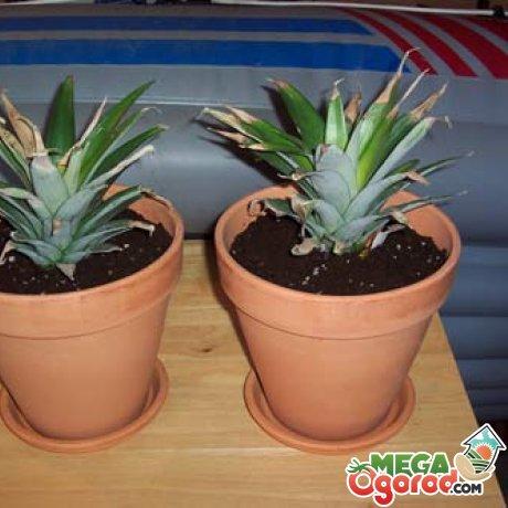 Укоренение верхушки ананаса