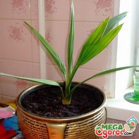 Финиковое дерево в домашних условиях