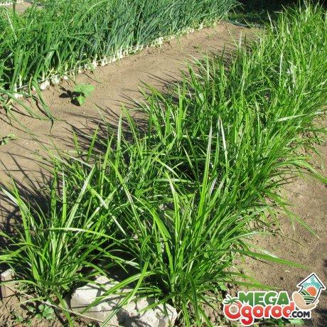 Земляной миндаль чуфа: описание, выращивание и применение