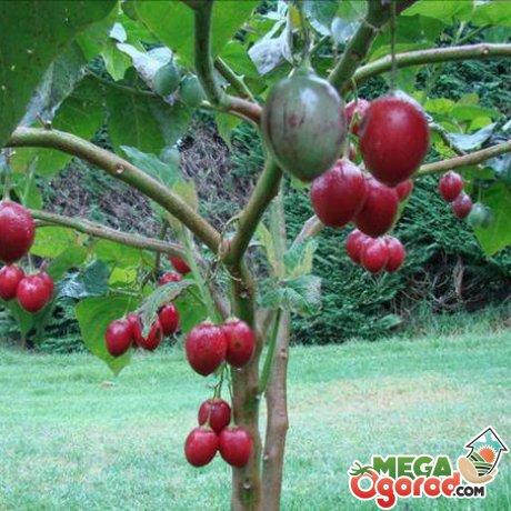 Почва и ее состав для томатного дерева