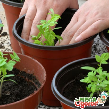 Выращивание рассады томатов с без пикировки и с пикировкой