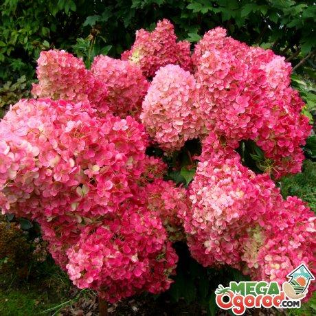 Красивые сорта для сада - Ванилла Фрайз