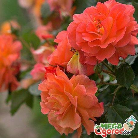 Что это такое полиантовая роза - особенности строения, сорта, способы размножения и правильный уход