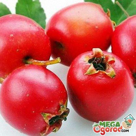 Практическое использование плодов боярышника