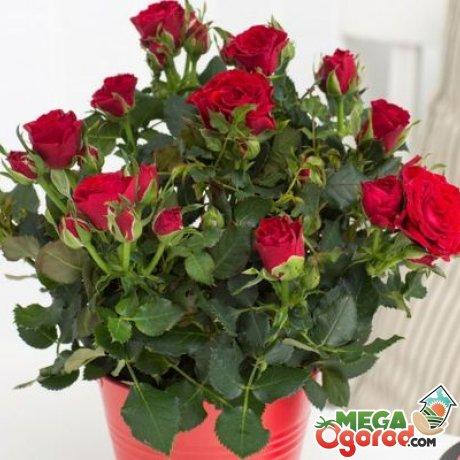 Описание комнатной розы