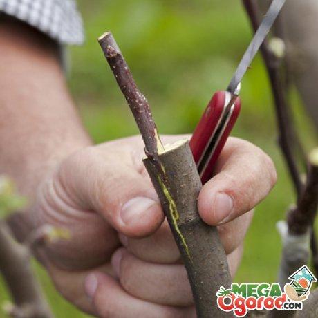 Способы размножения грушевых деревьев