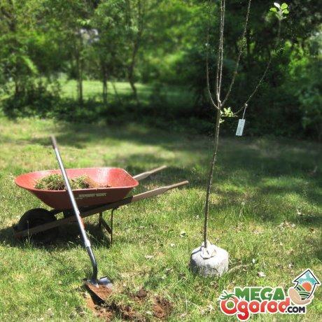 Основные правила посадки плодовых деревьев