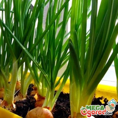Как правильно вырастить лук в грунте или в субстракте
