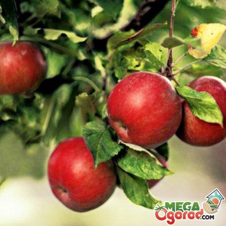 Рекомендации садоводам по уходу за яблоневым садом