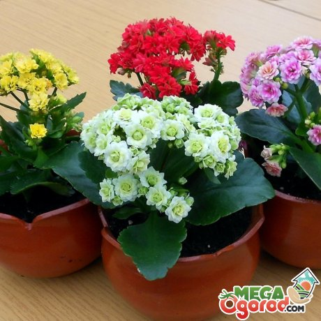 Каланхоэ – описание видов растения