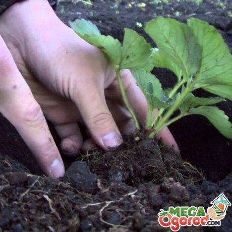 Правила размножения и посадки клубники
