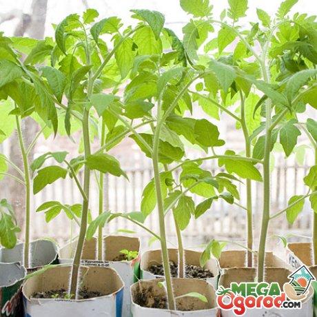 Выращивание рассады раннеспелых помидор