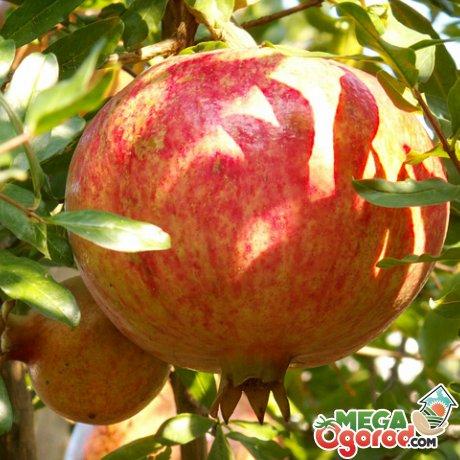 Как устроен гранатовый фрукт