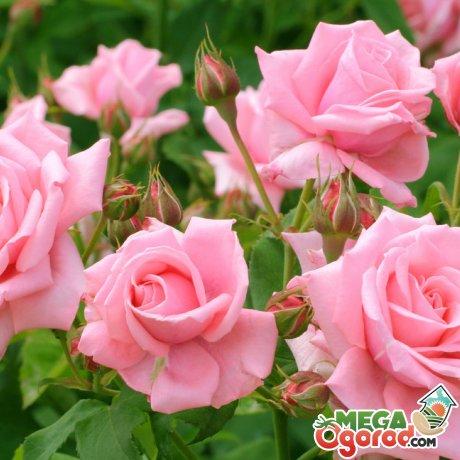 Какие цветы любят кислую почву?