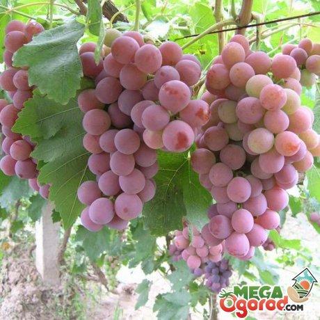 Как правильно ухаживать за виноградом?
