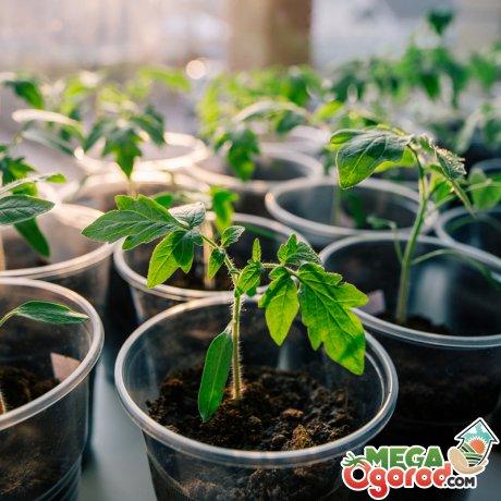 Как ухаживать за рассадой?