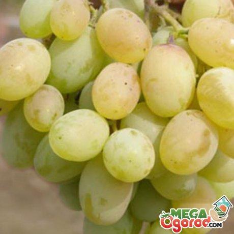 Плоды винограда
