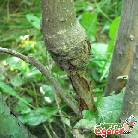 Болезни деревьев, которые прививаются